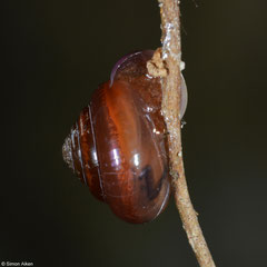 Microcystina messageri (SE of Lakxao, Bolikhamsai Province, Laos)
