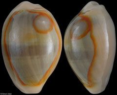 Cypraea annulus (Philippines, 18,7mm) with sand inclusion