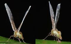 Long-winged planthopper (Proutista moesta), Kampot, Cambodia