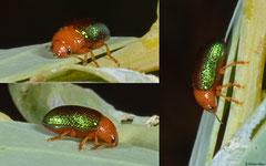 Leaf beetle (Calomela sp.), Broome, Western Australia