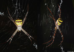 St Andrew's cross spider (Argiope keyserlingi), Bokor Mountain, Cambodia