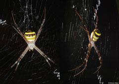 St Andrew's cross spider (Argiope keyserlingi), Bokor Mountain, Cambodia