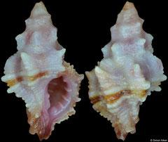Attiliosa perplexa (Brazil, 13,0mm)