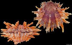 Spondylus crassisquama (Pacific Mexico, 123mm)