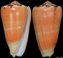 Conus barthelemyi (Réunion, 76,8mm)