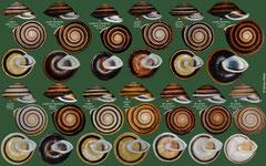 Caracolus sagemon forms (Cuba)