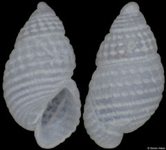 Chrysallida lapazana (Pacific Mexico, 1,7mm) F+++ €3.00 (specimens for sale are 1.5-1.7mm and are of the same quality as the specimen illustrated)