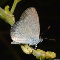 Grass blue (Zizina labradus), Broome, Western Australia