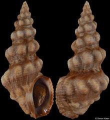 Clavus albotuberculatus (Madagascar, 54,4mm)