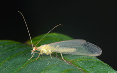 Common lacewing (Chrysopidae sp.), York, UK