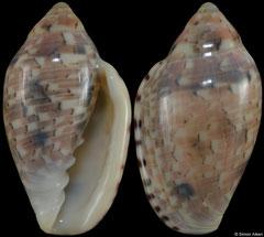 Marginella rosea (South Africa, 23,4mm)