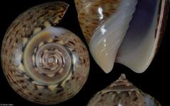 Oliva truncata (Pacific Panama, 38,0mm)