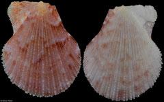 Laevichlamys weberi (South Africa, 20,7mm)