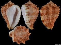 Morum praeclarum (South Africa, 34,9mm)