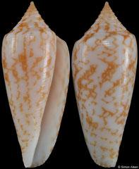 Conus lienardi (New Caledonia, 30,9mm) F+++ €22.00