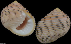 Nerita plicata (Rodrigues Island, 20,7mm) F+++ €3.00 (specimens for sale are 19mm+ and are of the same quality as the specimen illustrated)