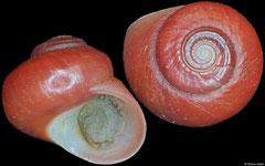 Homalopoma nubisrubri (Philippines, 4,9mm)