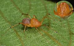 Spitting spider (Scytodidae sp.), Lakxao, Bolikhamsai Province, Laos