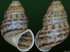 Chondropomium blaineorum (Dominican Republic, 15,7mm) F++ €20.00