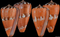 Conus vittatus (Pacific Panama, 27,3mm, 27,3mm) F+++ €14 (specimens for sale are 26-27mm and are of the same quality as the specimens illustrated)