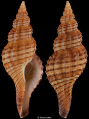 Granulifusus poppei (South Africa, 36,8mm)