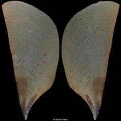 Pinna epica (Philippines, 186,8mm)
