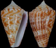 Conus olangoensis (Philippines, 22,5mm)