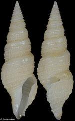 Tomopleura subtilinea (Philippines, 22,1mm)