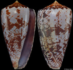 Conus natalis 'gilchristi' (South Africa, 44,6mm) F+ €56.00
