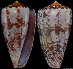 Conus natalis 'gilchristi' (South Africa, 44,6mm) F+ €40.00