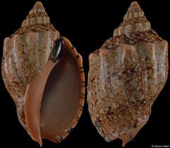 Callipara africana (South Africa, 69,6mm)