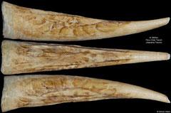 Fissidentalium sp. (Peru-Chile Trench, 45mm)