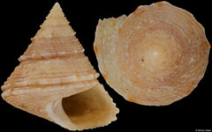 Calliostoma layardi (South Africa, 18,4mm)