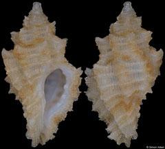 Pygmaepterys oxossi (Brazil, 8,5mm) F++ €12.50