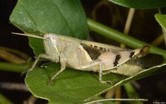Grasshopper (Acrididae sp), Broome, Western Australia