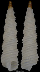 Metaxia bacillum (Turkey, 3,7mm)