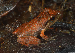 Grand café robber frog (Eleutherodactylus pinchoni), Mamelle de Pigeon, Basse-Terre, Guadeloupe