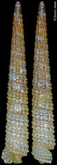 Subulophora rutilans (Philippines, 8,7mm) F+++ €5.00 (specimens for sale are 8.6-8.7mm and are of the same quality as the specimen illustrated)