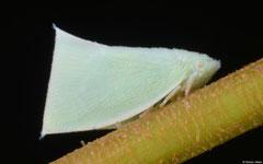 Planthopper (Flatidae sp.), Davao, Philippines