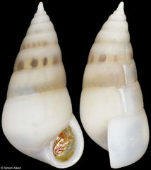 Leiostraca pyramidalis (Philippines, 6,0mm) F+++ €6.00