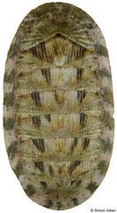 Lepidozona coreanica (China, 20,4mm)