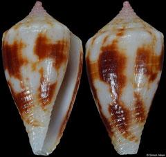 Conus montillai (Philippines, 17,0mm)
