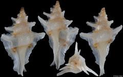 Pterochelus duffusi (Queensland, Australia, 27,0mm)