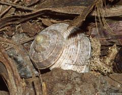 Tropidophora articulata (Montagne Cabris, Rodrigues Island)