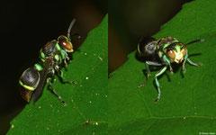 Wasp (Ropalidia sp.), Andasibe, Madagascar