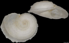 Cochliolepis tugelae (South Africa, 2,7mm)