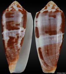 Conus circumcisus (Philippines, 76,8mm) F++ €10.00