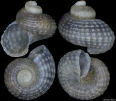 Trochidae sp. (sinistral freak) (Spain, 1,4mm)