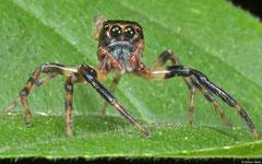 Jumping spider (Salticidae sp.), Pacijan Island, Philippines