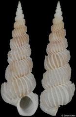 Epitonium eusculptum (Philippines, 17,0mm)